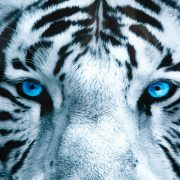 Obraz Fixion 60x60cm Tiger sklo